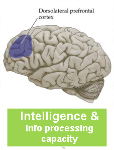 Intelligence and Working Memory Capacity